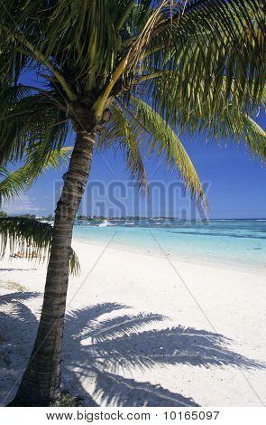 Palm Tree At Trou Aux Biches Beach Mauritius Island