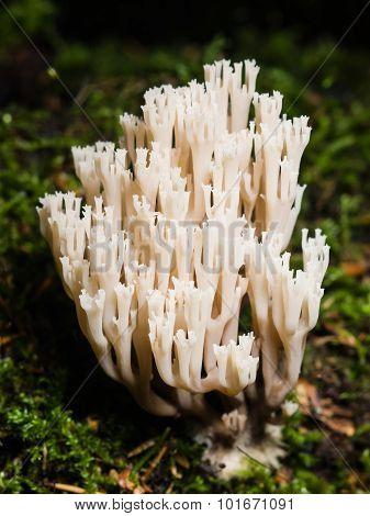 fungus ramaria poisonous mushroom macro selective focus poster