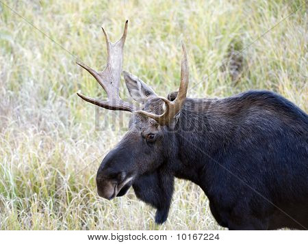bull moose in algonquin park on a fall day poster