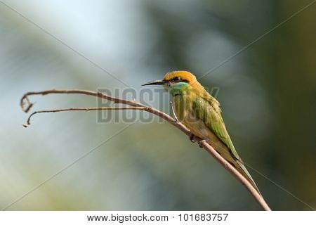 Perching Little Green Bee-eater In Goa, India