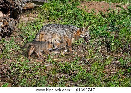 Grey Fox Vixen And Feeding Kit (urocyon Cinereoargenteus)
