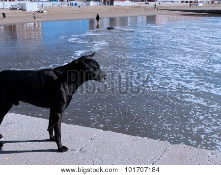 Dog staring at the ocean