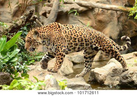 American leopard in Loro Park in Puerto de la Cruz on Tenerife, Canary Islands, Spain