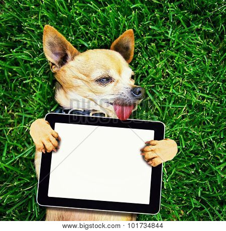 a cute chihuahua with his paws in the air on green grass
