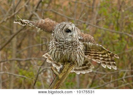 A Barred Owl Ready to take off