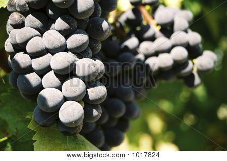 Tuscan Grapes
