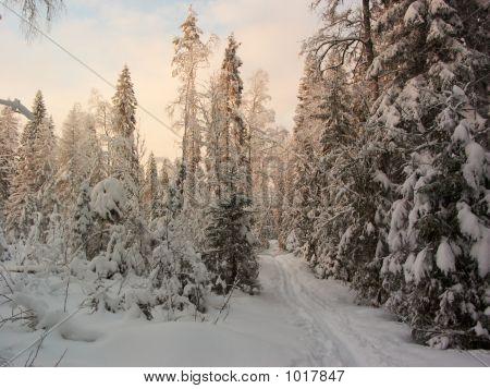 Winter Forest. Sun Rays