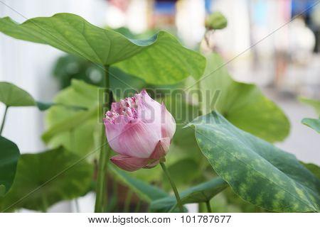 Lotus flowe