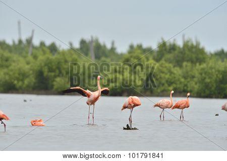 American Flamingos ( Phoenicopterus Ruber )