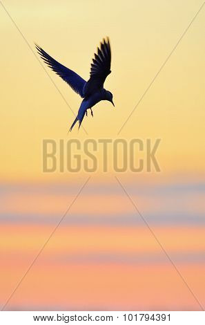 Common Tern In Flight Toward The Sunset