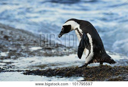 Walking  African Penguin (spheniscus Demersus)