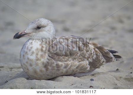 Close up of a sea gull