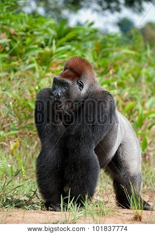 Portrait Of A Western Lowland Gorilla (gorilla Gorilla Gorilla) Close Up At A Short Distance.