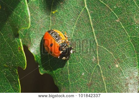 Injured Ladybug
