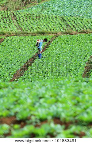Unidentified farmer sprayer their cabbage field, Petchabun, Thailand