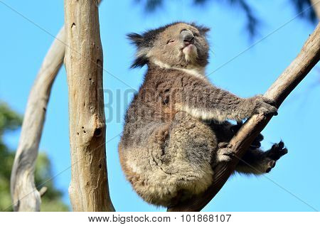 Koala (Phascolarctos cinereus) sit on an eucalyptus tree in Australia.