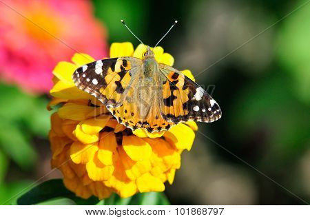 Painted Lady (Vanessa cardui). The butterfly sits on a flower zinnia.