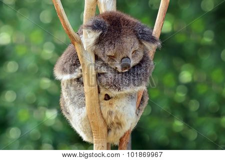 Koala (Phascolarctos cinereus)sleep on an eucalyptus tree in Australia.