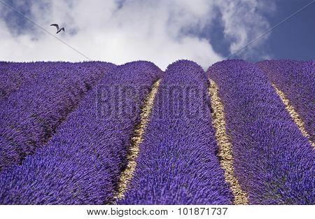 Lavender, Violet lavender field, close up, Provence. South of France. Summer background