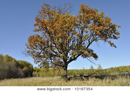 Old Oak Tree On The Forest Edge