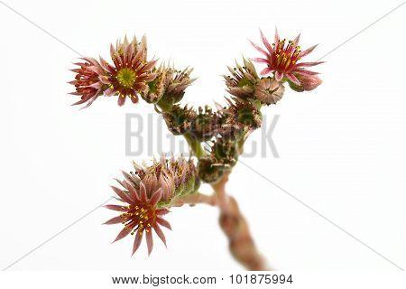 Houseleek Blossom