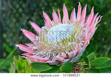Pink King Protea Flower