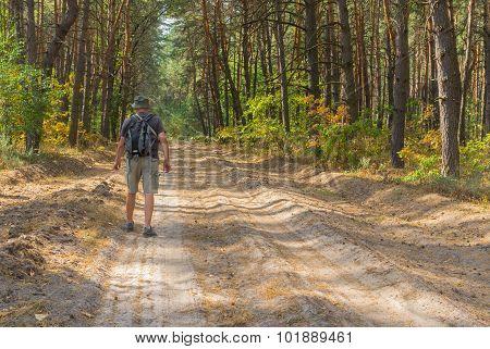 Lonely hiker walking on sandy road in coniferous forest