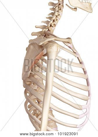 medical accurate illustration of the teres minor