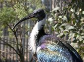 this is a scared ibis they are native to Australia poster