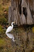 great egret wading in the water vertical format poster