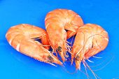 Three boiled shrimps over a blue glass plate poster