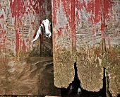 A goat sticking its head out of an old barn.  **Note, slightly blurry, best at smaller sizes poster