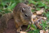 close up of a tree squirrel feeding on grass poster