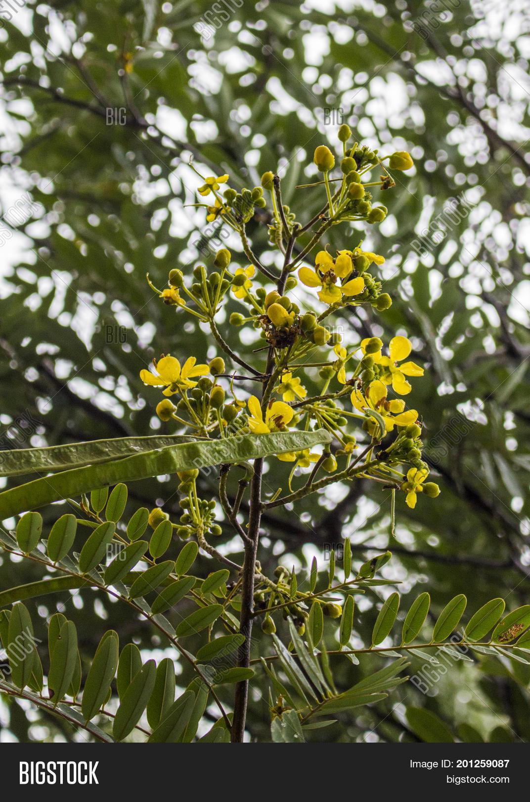 Yellow flower thai image photo free trial bigstock yellow flower of thai copper pod or siamese senna or siamese cassia or cassod tree and mightylinksfo