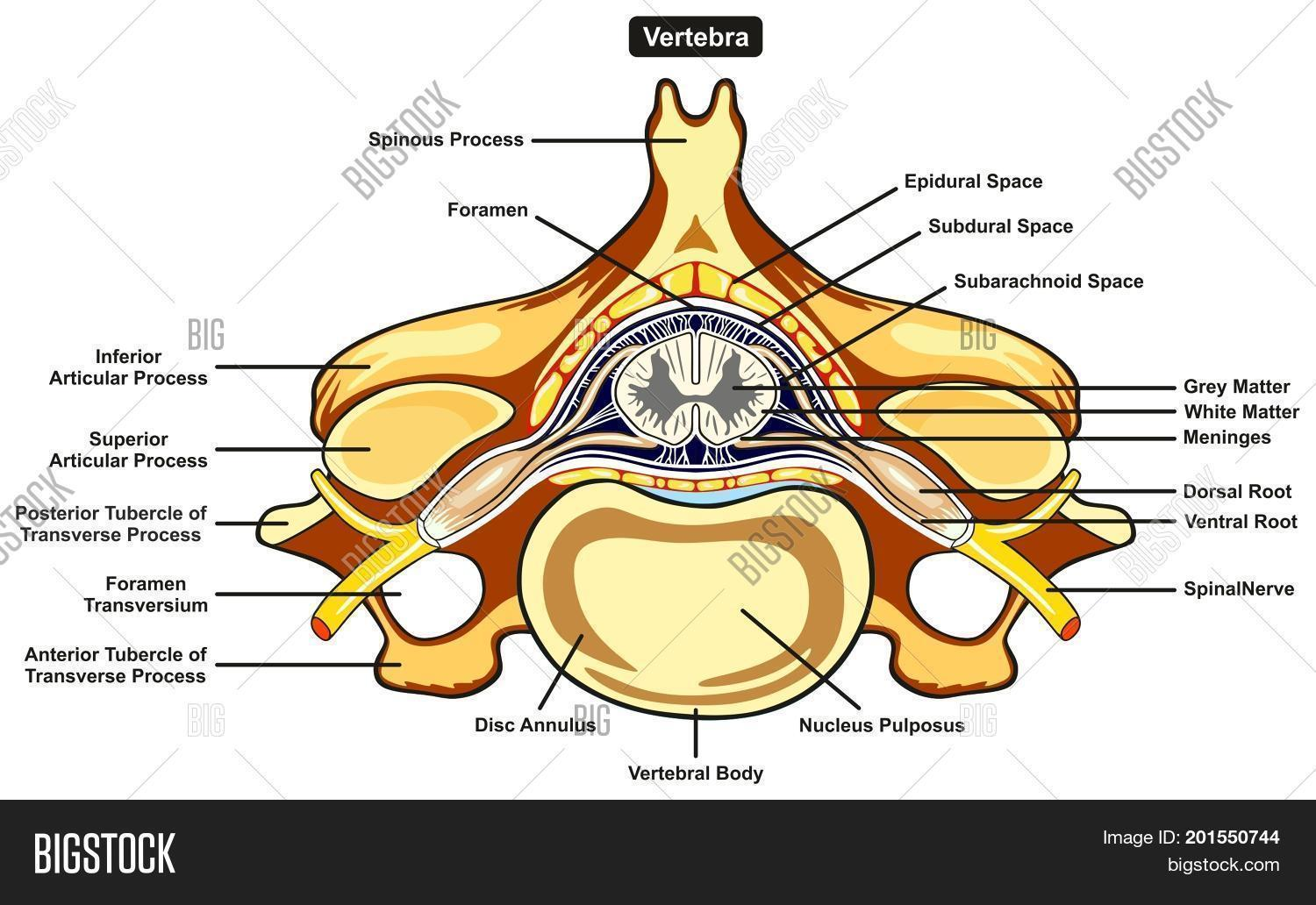 Vertebra cross section image photo free trial bigstock vertebra cross section of human body anatomy infographic diagram including all parts cord of grey and ccuart Choice Image