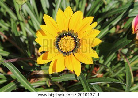 Beautiful yellow Gazania flower in a blooming garden