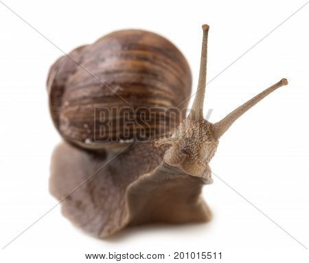 Curiosity Grape Snail Isolated On A White Background, Close Up.