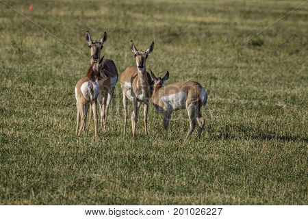 Pronghorn Antelope doe and fawn pairs in hayfield.