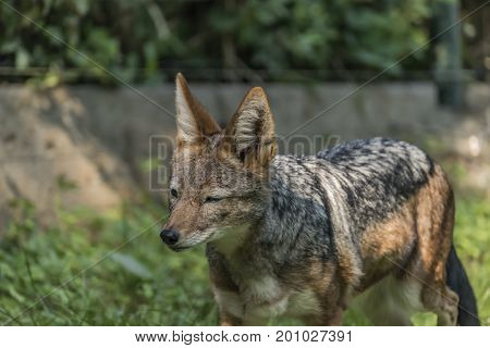 Jackal with green grass background in sunny evening