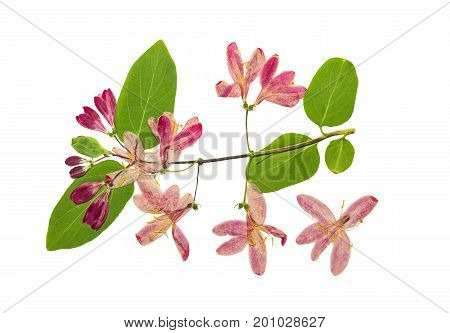 Pressed and dried flowers tataric honeysuckle (Lonicera tatarica) isolated on white background. For use in scrapbooking floristry (oshibana) or herbarium.