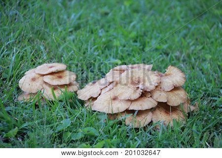 Odd, brown clustered layers of mushrooms in grass