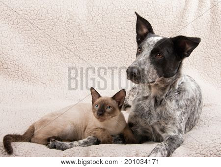 Sweet image of a young siamese cat with a young Texas Heeler, lying together on a soft blanket; concept for inter species friendship