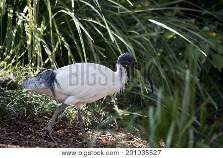 this is a side view of a white ibis