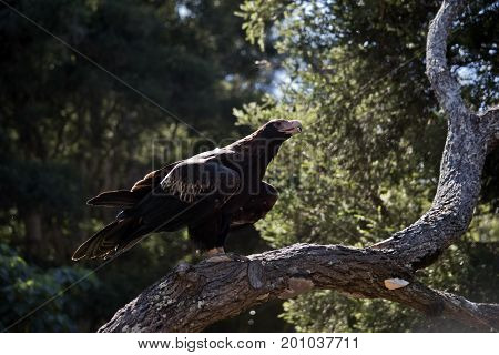 the wedge tailed eagle is perched on a tree branch