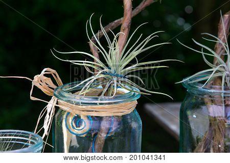Tillandsia oaxacana decorative placed on wood in a jar.