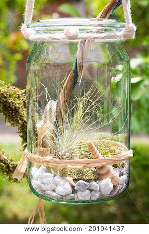 Tillandsia argentea a airplant decorative placed in a jar.