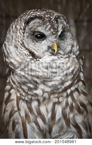 A close vertical upright up three quarter length portrait on a barred owl looking slightly to the right