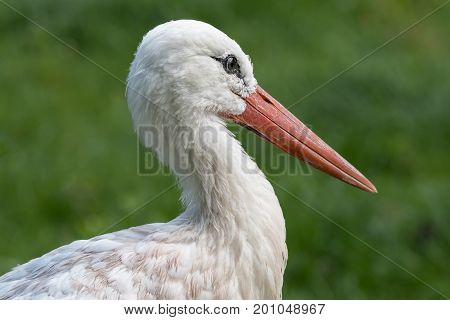 A close up portrait of the head of a white stork facing right with a long beak
