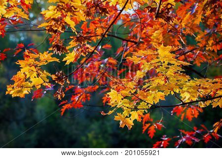 Close-up of scenic of beautiful vivid colorful autumn Branches of maple, oak on dark background. Fall has come, real beauty of the autumn colors