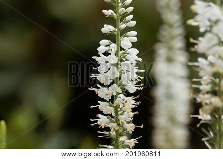 Macro photo of white garden speedwell flowers (Veronica longifolia).